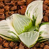 성영 금 (星影 錦)-01-01-No.4157|Echeveria elegans Potosina