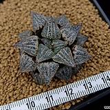 아이스캔디 자구 중묘 (Haworthia splendens hyb. Ice Candy, offset) 