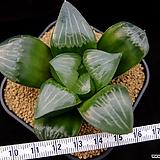 루미너스 자구 중묘 (Haworthia comptoniana cv. Luminous, offset) 