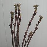 (단품)목단 꽃대가득|