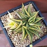 유리전금 0361|Haworthia limifolia f.variegata