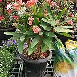 60-70 핑크 기둥 꽃기린|