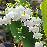 독일은방울꽃 앙증맞고 이쁜꽃에서 향기도 솔솔~~~노지월동 잘되는 품종이죠.|