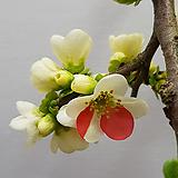 명자나무(장수보)|