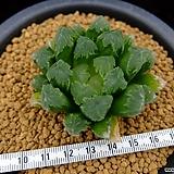 그린젬 (Haworthia cv. Green Gem, offset) 