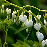 흰금낭화 1뿌리 