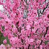옥매 특묘 묘목-접목1년 [홍매화]