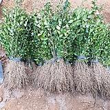 광나무 노지묘 40센티 전후 100주 한셑 