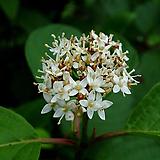 흰말채나무 H0.6~0.8|