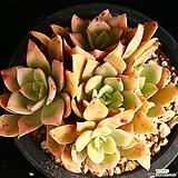 캐시타 1 Echeveria Cassytha