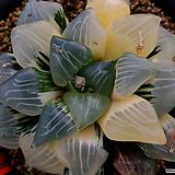 니시코렉타금 무지자구 (Haworthia Nishi Correcta non-variegated offset) Haworhtia correcta