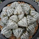 설경색(雪景色) 자구 중묘 (Haworthia Yukigheshiki, offset) 