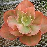 오로라금 자구 소묘 (Echeveria Aurora variegated) Sedum rubrotinctum cv.Aurora