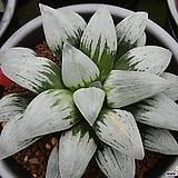 플라티나 자구 (Haworthia cv. Platina, offset) Echeveria Tina