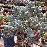 자연군생 묵은둥이 방울복랑|Cotyledon orbiculata cv