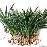 대훈(4-5촉)/동양란/풍란/서양란/공기정화식물/난/공기/농장/식물/나라아트|