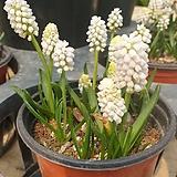 흰색무스커리 노지월동 수경재배 구근식물 알뿌리|