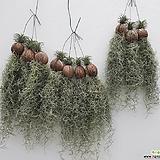 풍성하고 싱싱한 수염 틸란드시아 이오난사 행잉플랜트 공중식물 공기정화식물 틸란드시아|Tillandsia