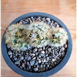 카르메나에 (Mammillaria carmenae) 가시부드러움|
