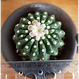 무자 노토캑터스 유벨마니아누스(Notocactus uebelmannianus cv.)|