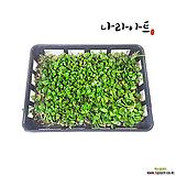 콩짜개덩쿨란 한판/콩란/야생화/동양란/공기정화식물/식물/재배/분재/꽃/나라아트|
