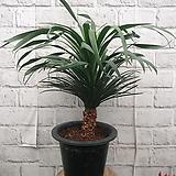 신종 드라코 공기정화식물 :)|