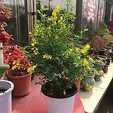 애니시다 노란꽃에서 상큼한 향이 나요 :)|