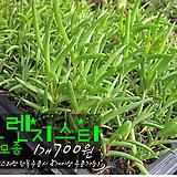 오렌지스타(Orange Star 송엽국) 다육모종 700원 (단독주문시 5000원이상주문가능)|