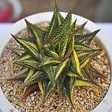 유리전금(E105) Haworthia limifolia f.variegata