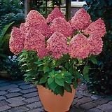 목수국 / 매직컬파이어  / 유럽목수국 / 조경수 / 마당꾸미기 / 정원꾸미기 / 네덜란드 수입 / 4~5지 2L 화분|Hydrangea macrophylla