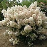 목수국 / 보보 / 유럽목수국 / 조경수 / 마당꾸미기 / 정원꾸미기 / 네덜란드 수입 / 4~5지 2L 화분|Hydrangea macrophylla