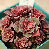 롱기시마묵은둥이64_삥둘러가며자구달았습니다|Echeveria longissima