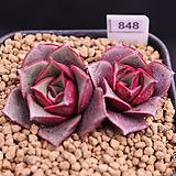 롱기시마벨바라 M03-848|Echeveria longissima