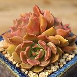 브라운로즈묵은둥이|Echeveria Brown Rose