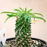 괴마옥.큼직.가격은착함|Euphorbia hypogaea