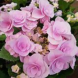 이쁜꽃 가득한 장미수국|Hydrangea macrophylla