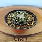 왕거미줄 바위솔1포트(9cm)|Sempervivum arachnoideum tomentosum