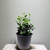 함박자스민 중품 자스민 공기정화식물 99 