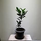 귤나무 과실수 공기정화식물 189 