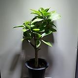 뱅갈고무나무 공기정화식물 249 Ficus elastica