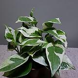 엔조이스킨 스킨 수입식물 공기정화식물 39 