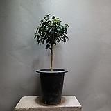외목대벤자민 중품 공기정화식물 129 