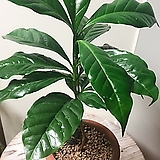 커피나무 옛날토분(외목수형 커피나무)완성분/분갈이(화산석꾸밈돌)포함|
