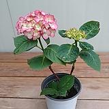 (단품)분홍수국 소품 #2|Hydrangea macrophylla