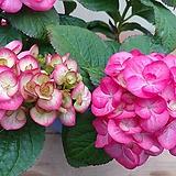 (단품)분홍수국 소품 #4|Hydrangea macrophylla