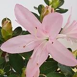 화이트스타 아젤리아 연산홍 철쭉|