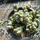 원종벽어연0320|Corpuscularia lehmanni