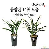 동양란 모음/난/동양란/서양란/꽃/공기정화식물/풍란/부귀란/야생란/화분/공기/식물/나라아트|
