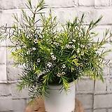 왁스 플라워 하얀꽃이 예뽀요 :)|Echeveria agavoides Wax