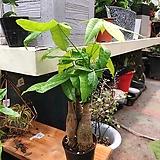 귀요미 삼총사 파키라 공기정화식물|